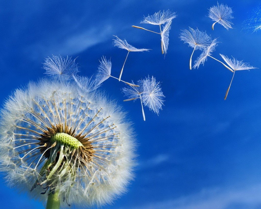 white-dandelion-seeds-puffs-blowing-blue-sky